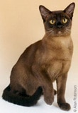 The Burmese Cat Breed