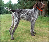 The German Wirehaired Pointer Dog Breed