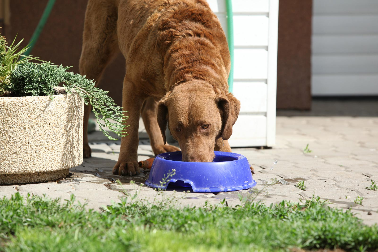 Bautiful Chesapeake Bay Retriever Drinking